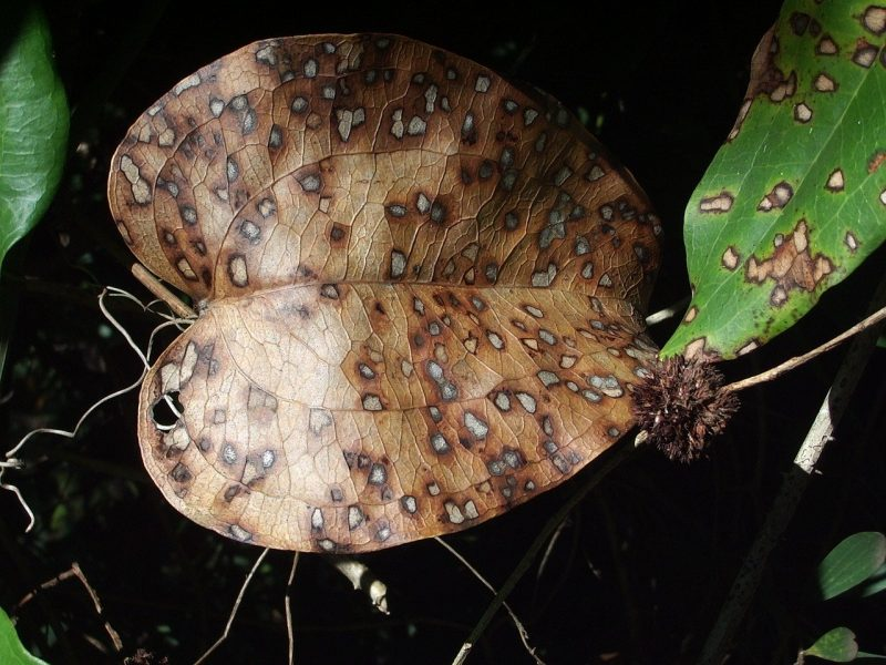 Les thrips, comment ils affectent la plante et comment les maîtriser ?